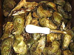 Live Atlantic Oysters