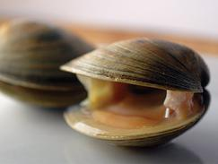 Hard Shell Atlantic Clams