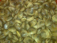 Live Little Neck Clams
